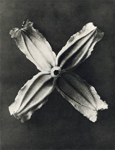 KARL BLOSSFELDT - Clematis Integrifolia
