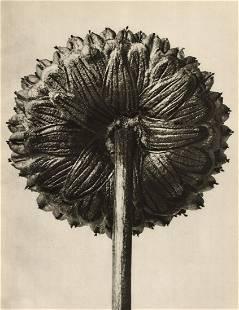 KARL BLOSSFELDT - Cotula coronopifolia