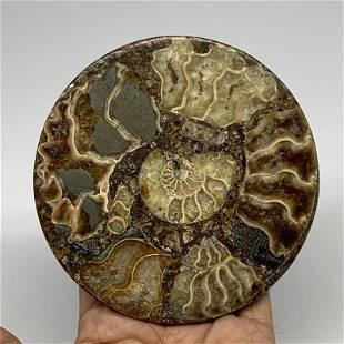 Ammonite fossil round petrifaction reliquiae natural