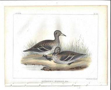1855 Fine Colored Engraving Ducks