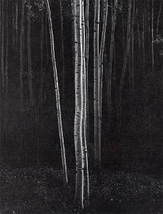 ANSEL ADAMS - Aspens, 1958