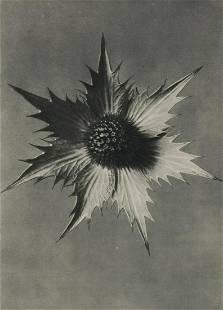 PROF. KARL BLOSSFELDT - Eryngium giganteum, 1920'
