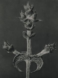 PROF. KARL BLOSSFELDT - Salvia aethiopis, 1920's