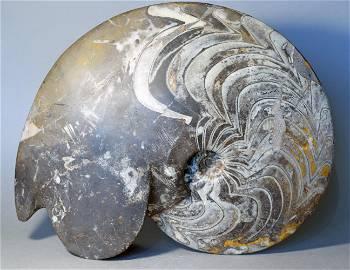 Large decorative ammonite - Manticoceras sp.