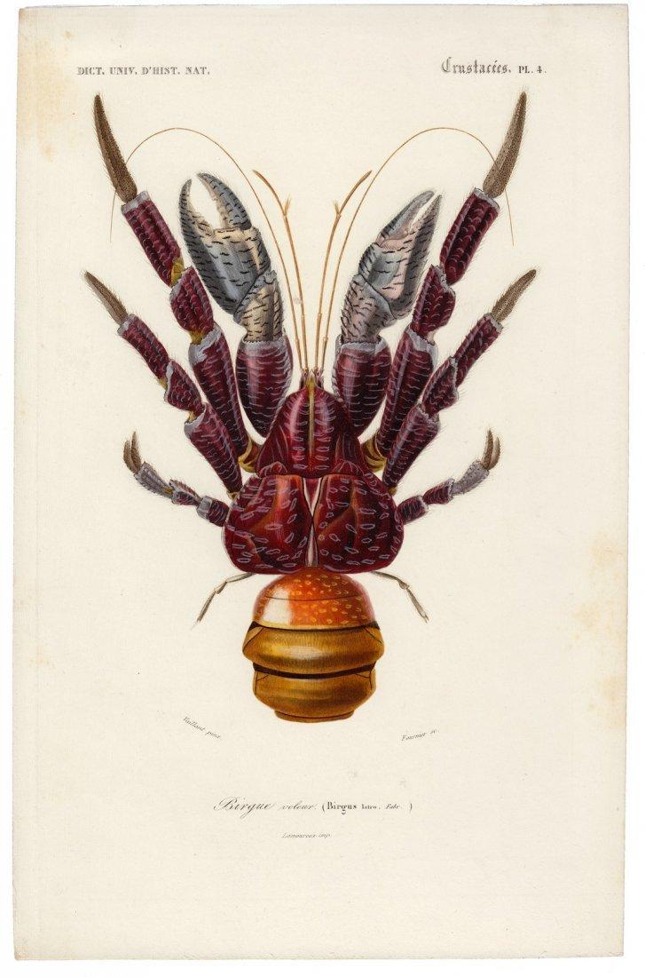 Hand-Colored Orange Finger Coconut Crab, 1841