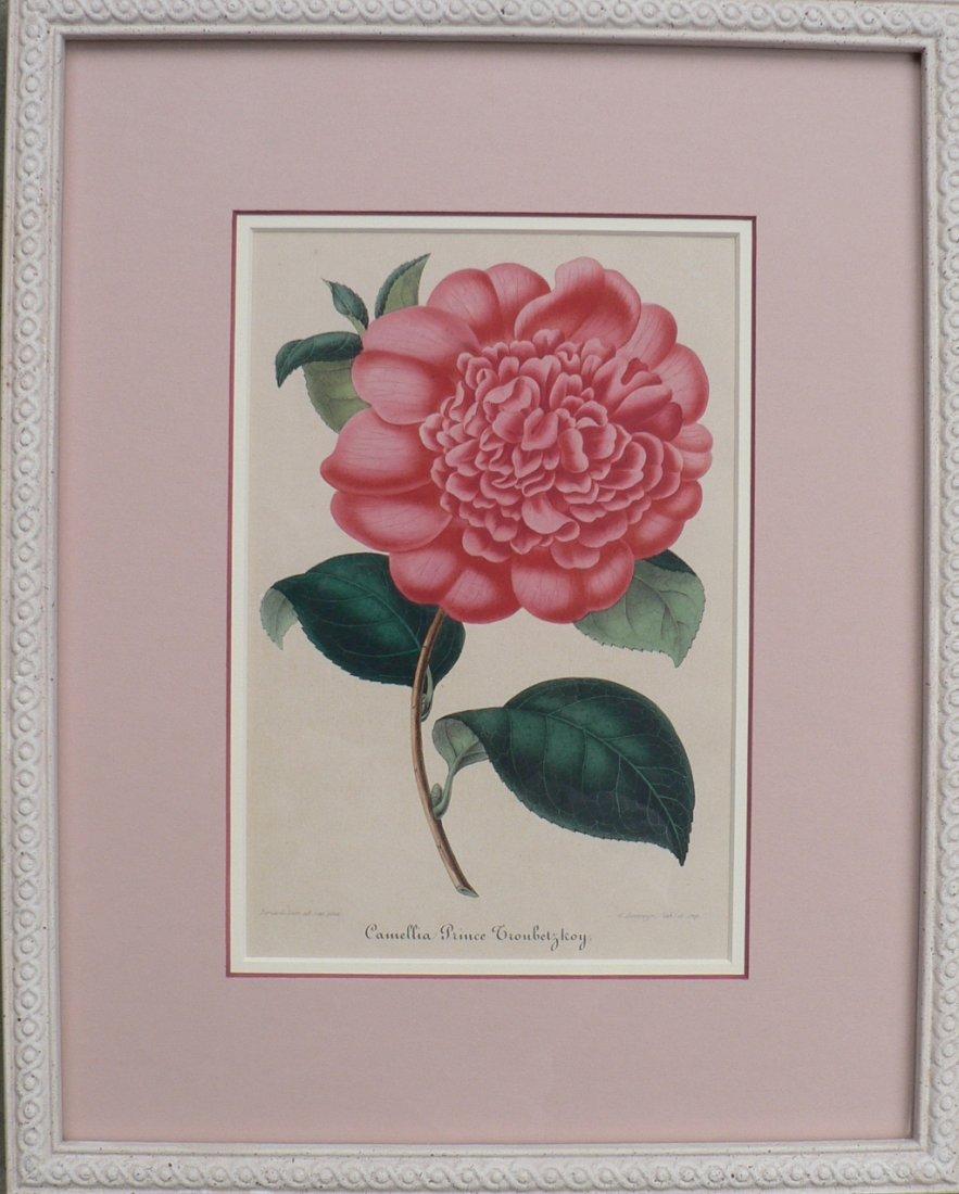 Verschaffelt's Camellia Prince Troubetzkoy, 1854