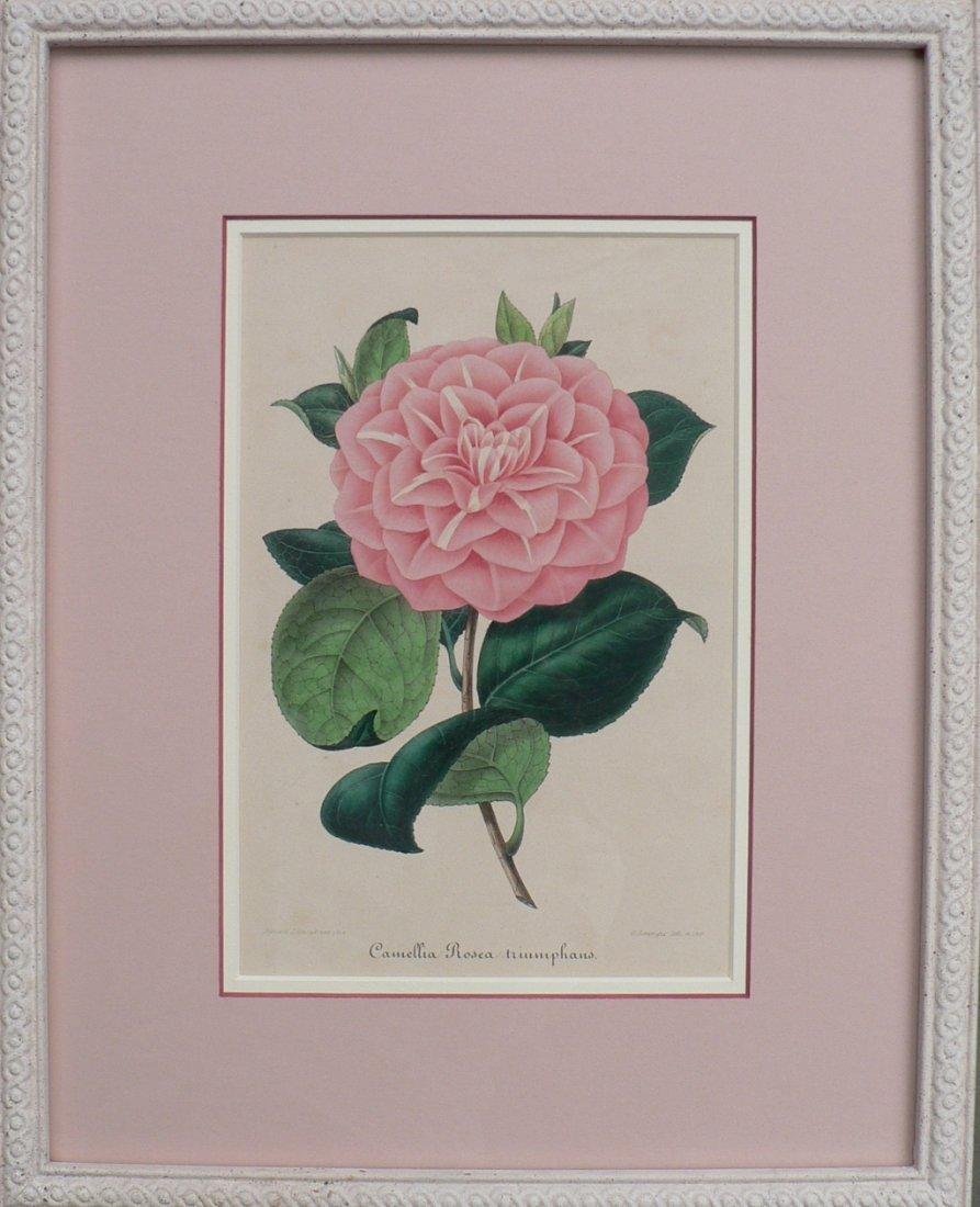 Verschaffelt's Camellia Rosea Triumphans, 1854