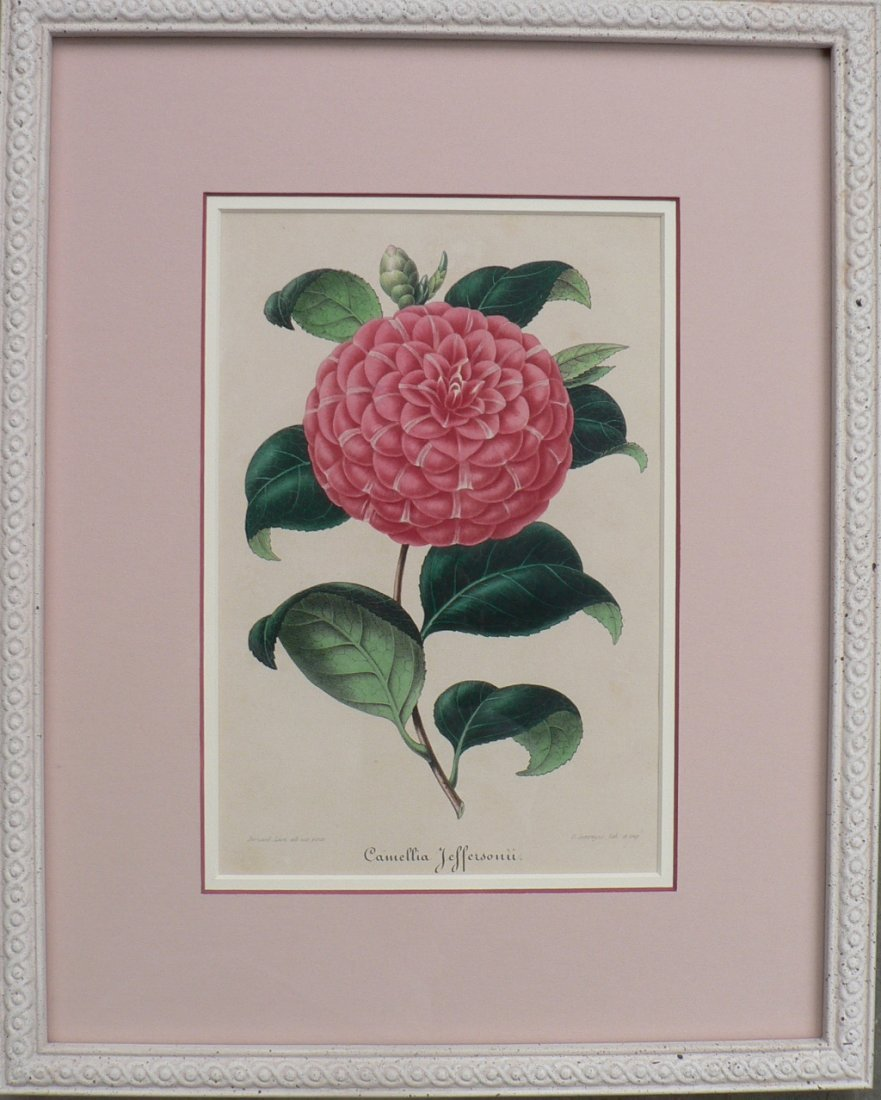 Verschaffelt's Camellia Jeffersonii, 1854