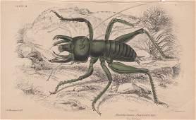 Anostostoma Australasiae William Lizars 1840
