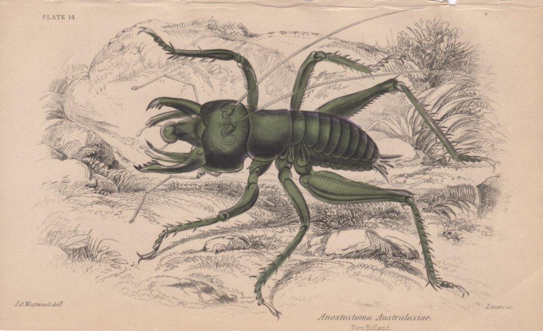 Anostostoma Australasiae, William Lizars 1840