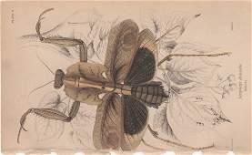Deroplatys disiccata William Lizars 1840