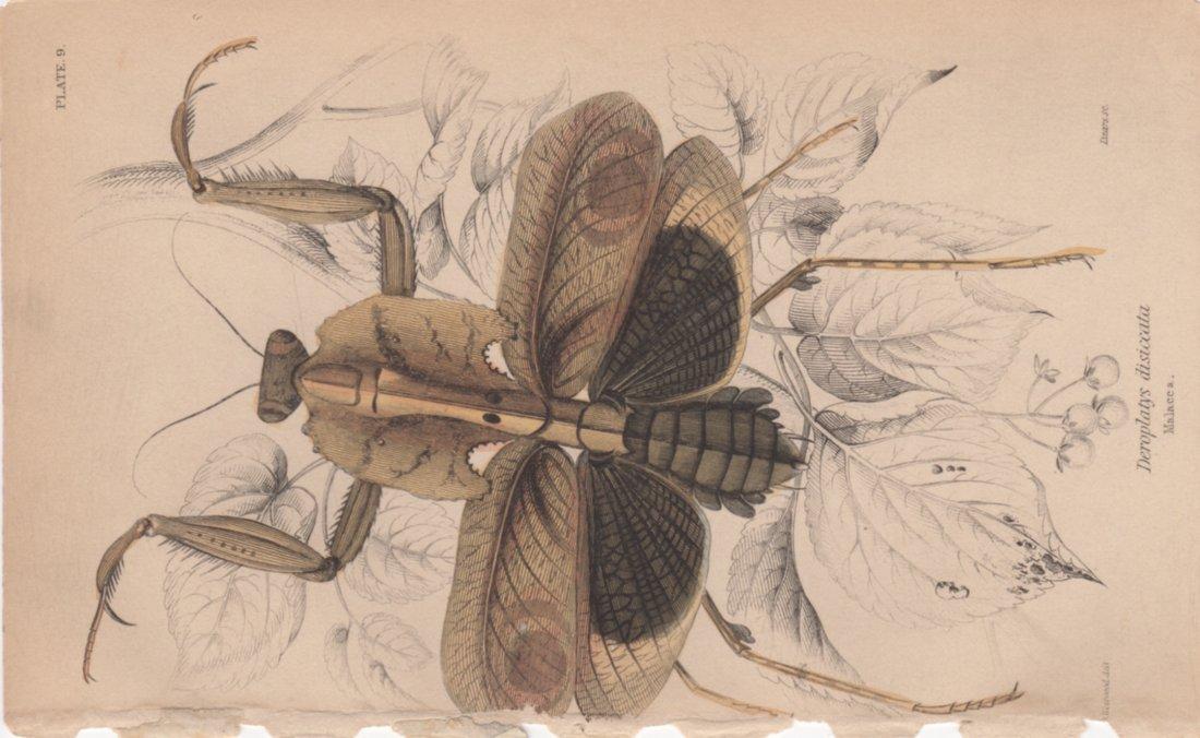 Deroplatys disiccata, William Lizars 1840