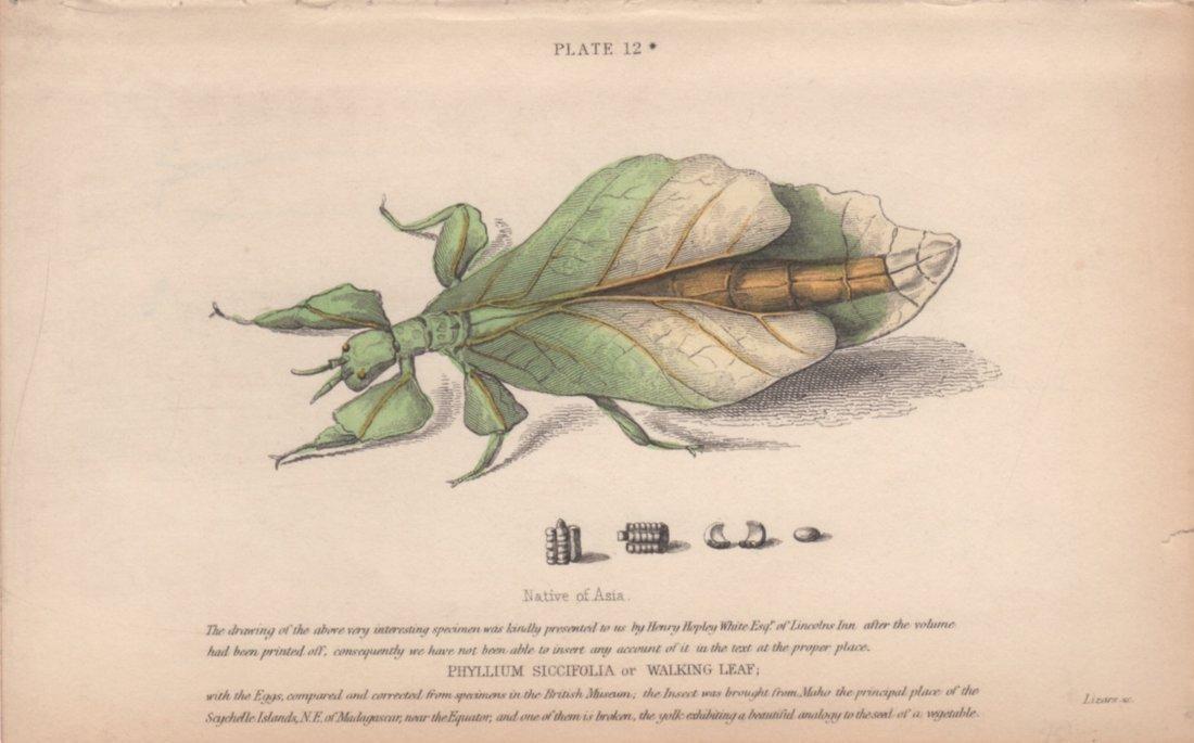 Phyllium Siccifolia / Walking Leaf, William Lizars 1840
