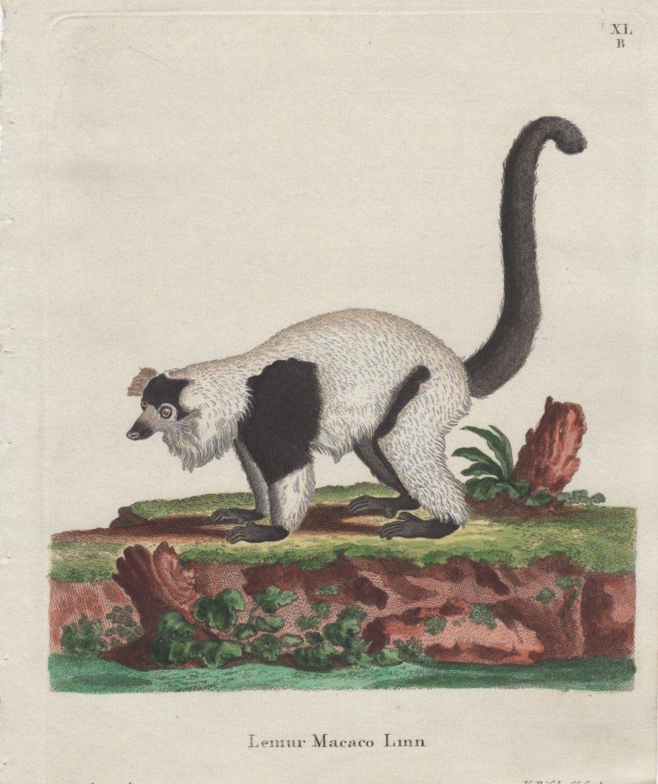 Lemur Macaco Linn, Jacques De Seve 1778-81