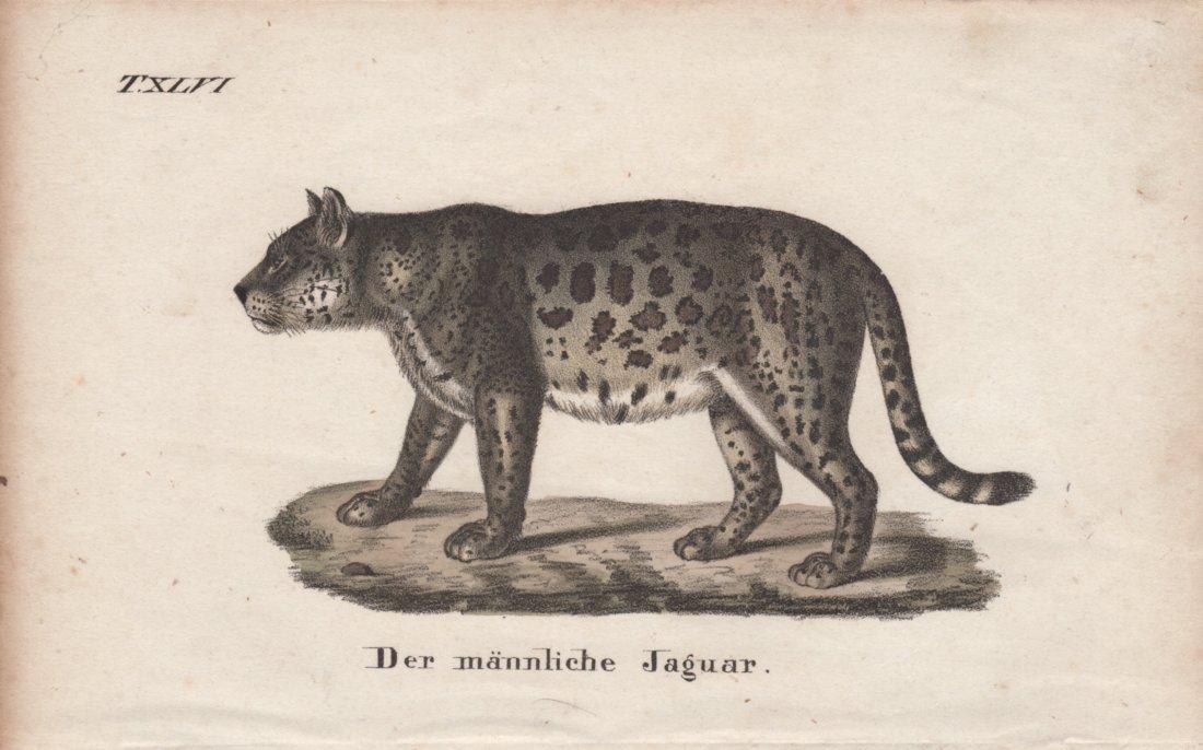 Der mannliche Jaguar 1831
