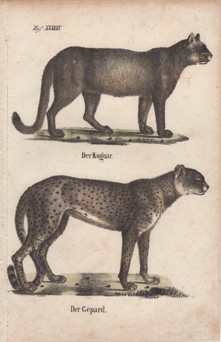 Der Kuguar Der Gepard 1831