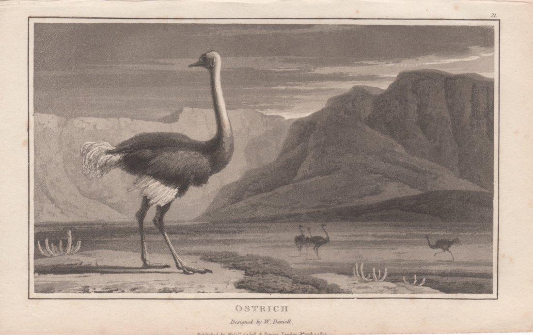 Ostrich, William Daniell 1807