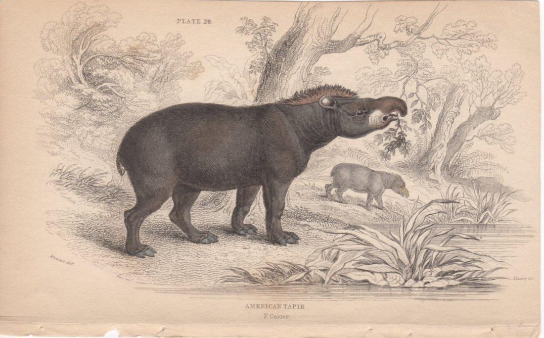 American Tapir, William Lizars 1840