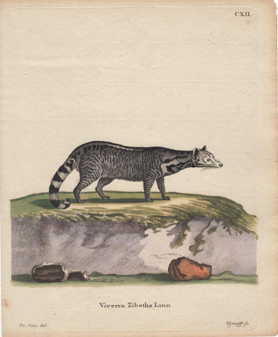 Viverra Zibetha Linn, Jacques De Seve 1778-81