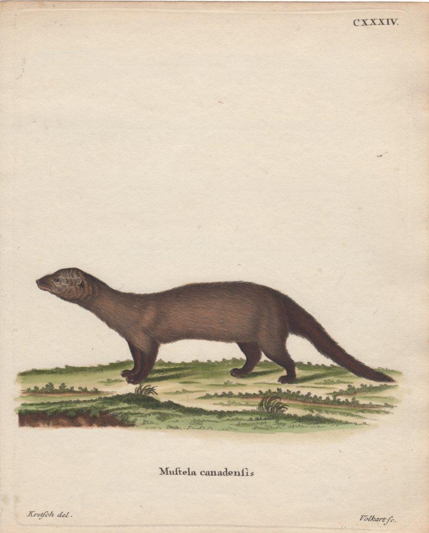 Mustela Canadensis, Jacques De Seve 1778-81