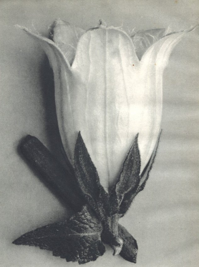Karl Blossfeldt: Allaria-Leaved Bell Flower (10X)