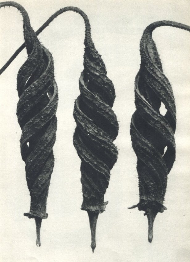 Karl Blossfeldt: Common Chili Nettle (5X)