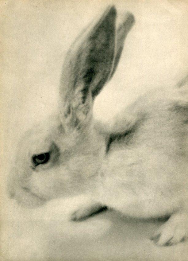 Martin Munkacsi: Rabbit