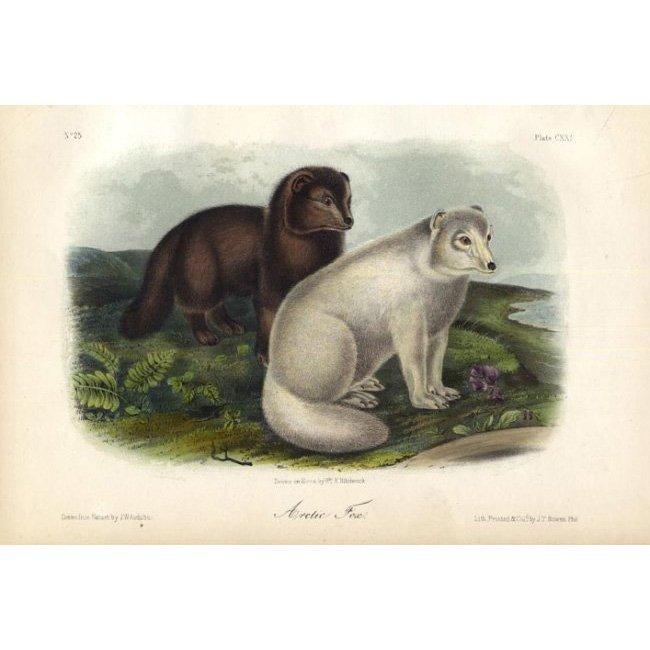 John James Audubon: Arctic Fox 1851
