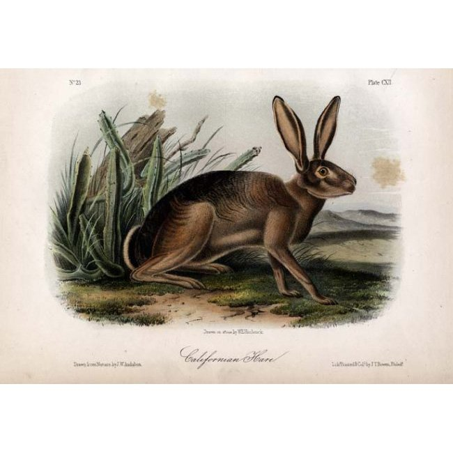 John James Audubon: Californian Hare 1851