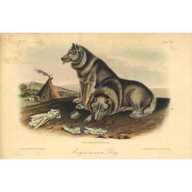 John James Audubon: Esquimaux Dog 1851