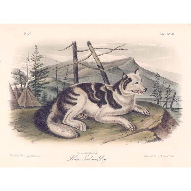 John James Audubon: Hare Indian Dog 1851
