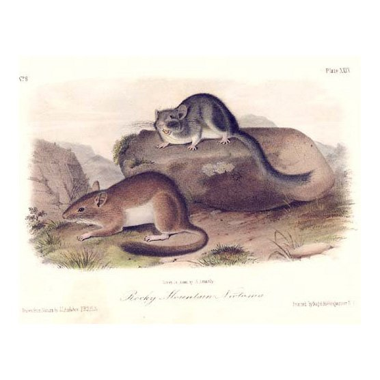 John James Audubon: Rocky Mountain Neotoma 1851