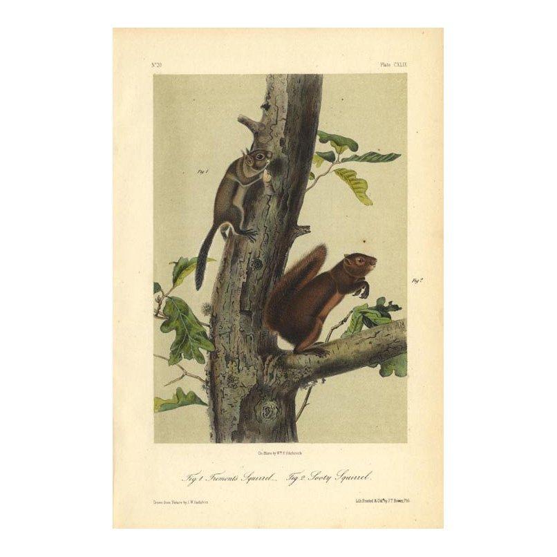 John James Audubon: Fremont's & Sooty Squirrel 1851