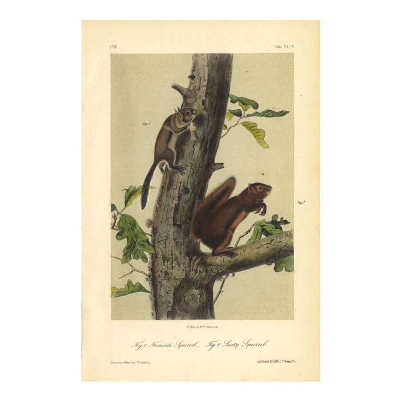 John James Audubon: Fremont's & Sooty Squirrel 1851