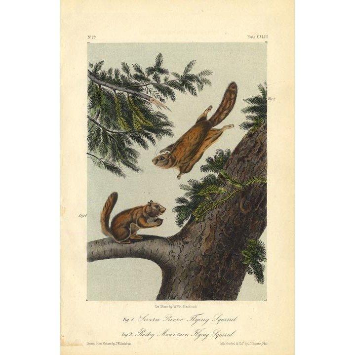 John James Audubon: Flying Squirrels 1851