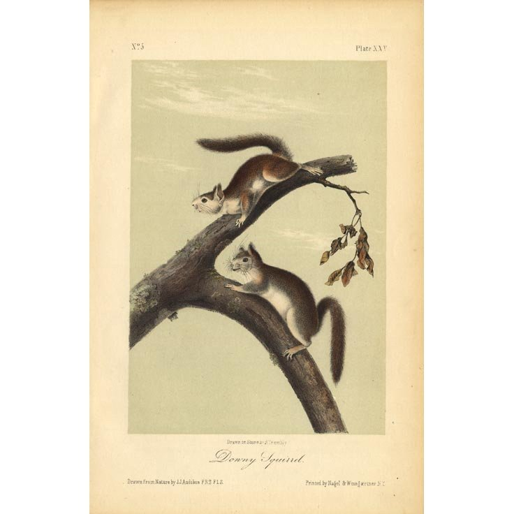 John James Audubon: Downy Squirrel 1851