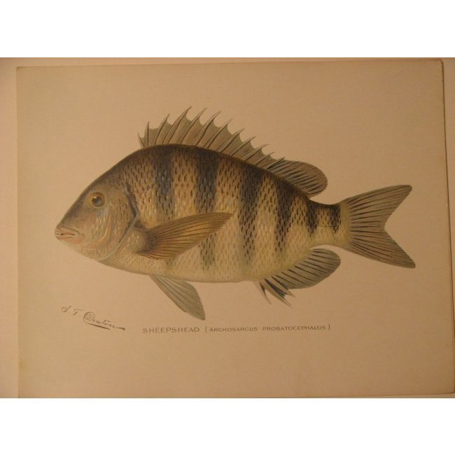 Sherman Denton: Sheepshead, 1904