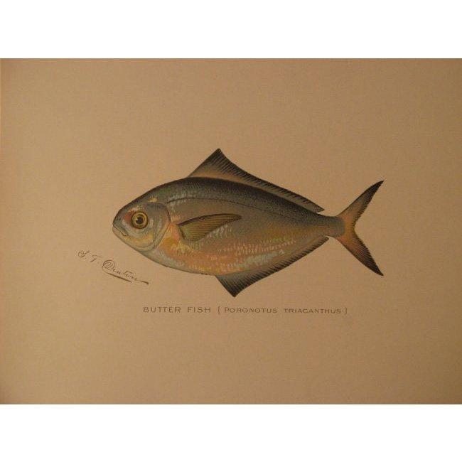 Sherman Denton: Butterfish, 1904