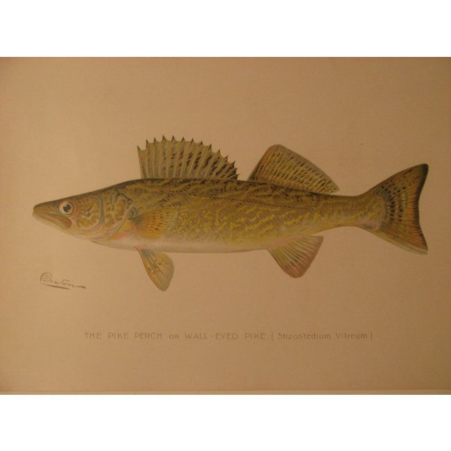 Sherman Denton: Pike Perch or Wall Eyed Pike, 1904