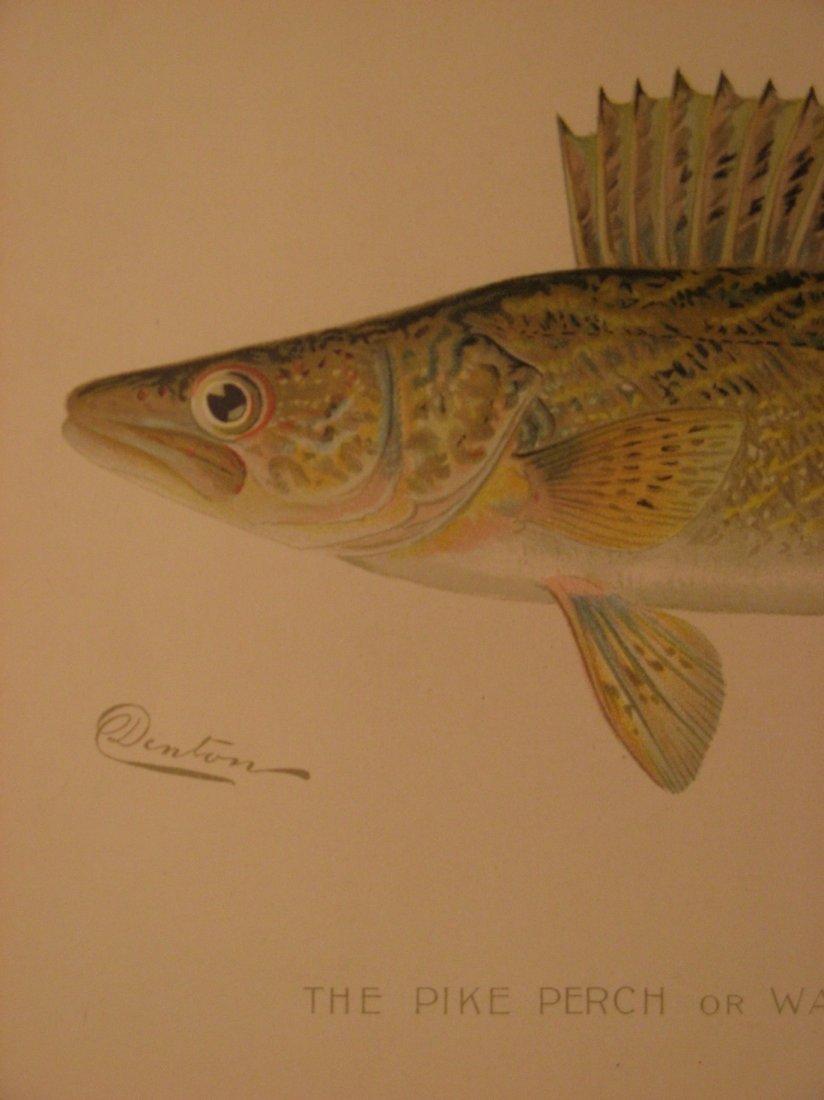 Sherman Denton: Pike Perch or Wall Eyed Pike, 1904 - 2