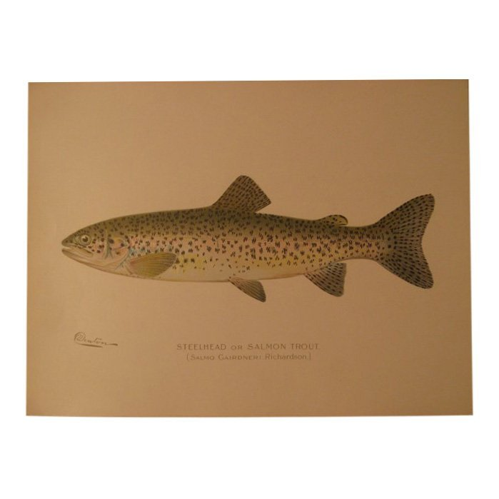 Sherman Denton: Steelhead or Salmon Trout, 1904