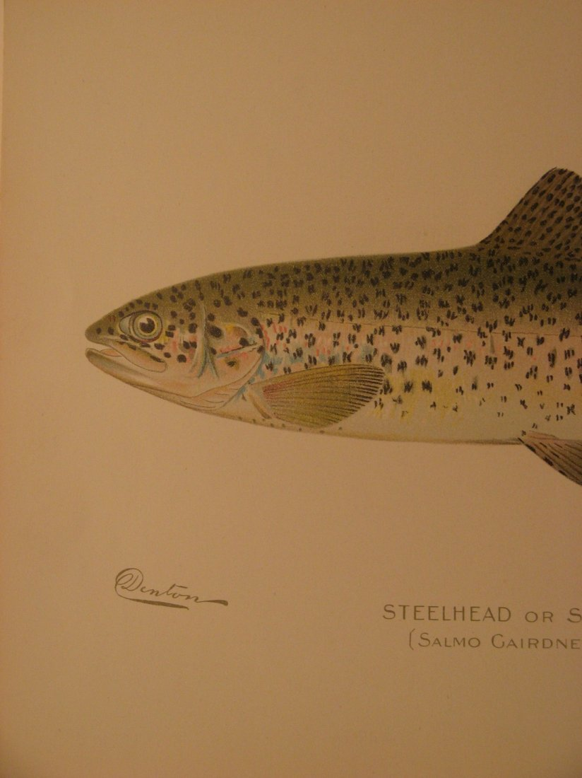 Sherman Denton: Steelhead or Salmon Trout, 1904 - 2