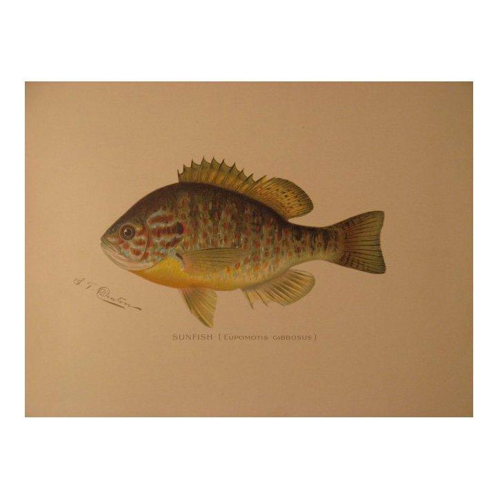 Sherman Denton: Sunfish, 1904