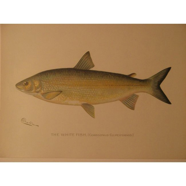 Sherman Denton: White Fish, 1904