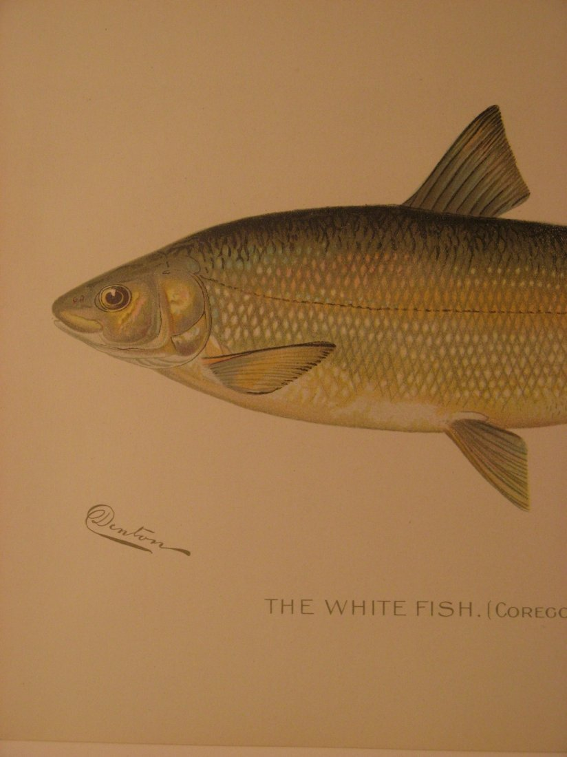 Sherman Denton: White Fish, 1904 - 2