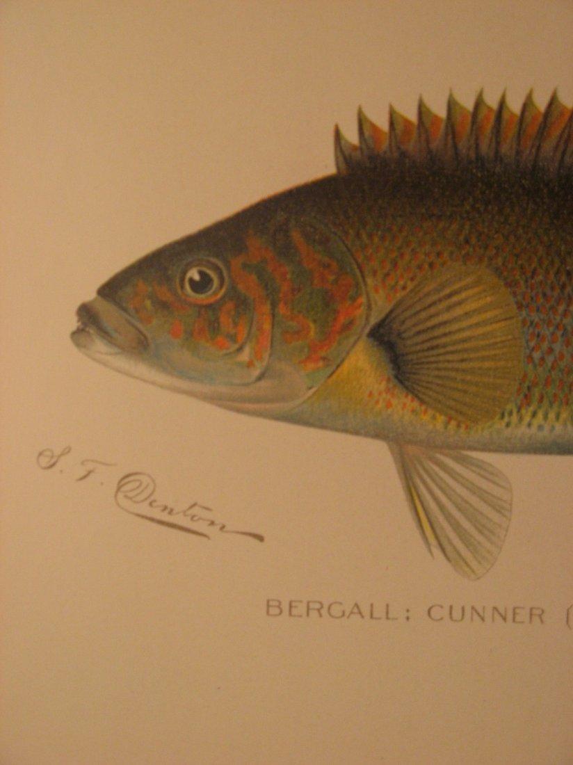Sherman Denton: Bergall Cunner, 1904 - 2