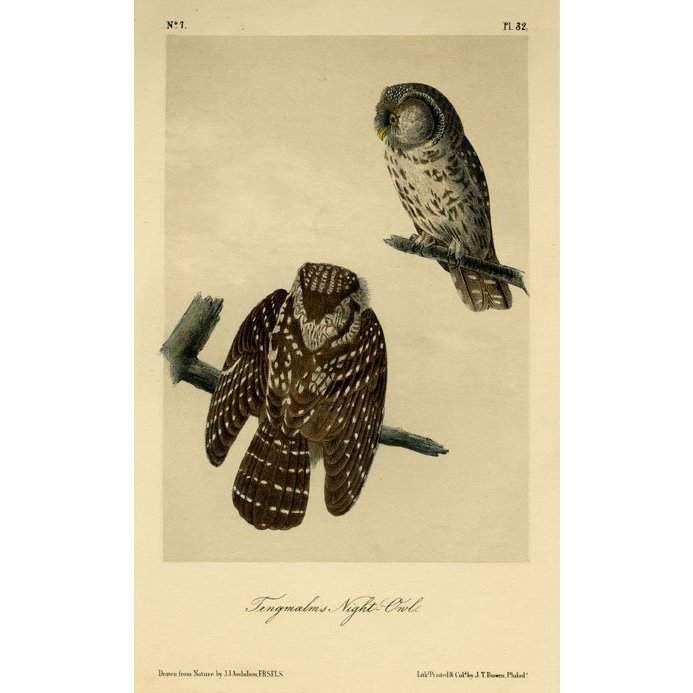 John James Audubon: Tengmalms Night-Owl 1871