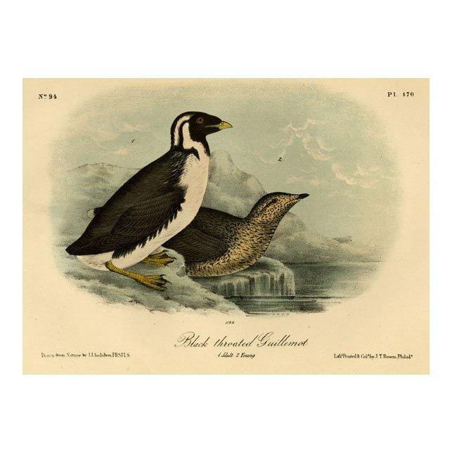John James Audubon: Black Throated Guillemont 1861