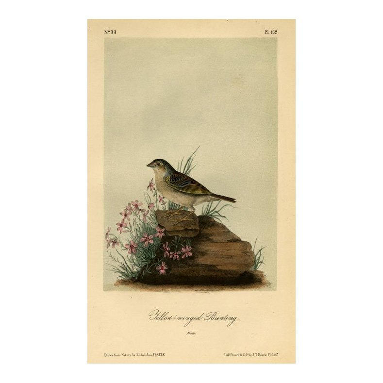 John James Audubon: Yellow-winged Bunting 1871