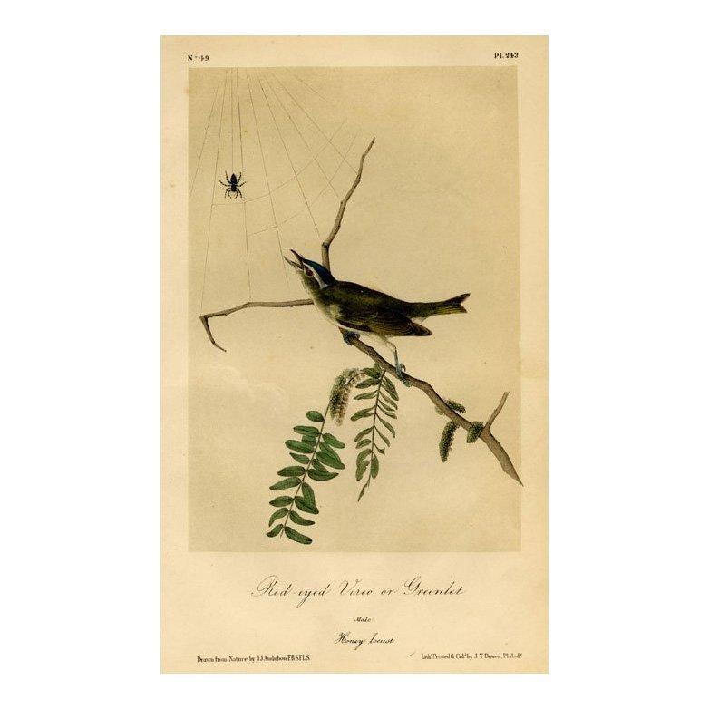 John James Audubon: Red-eyed Vireo or Greenlet 1871